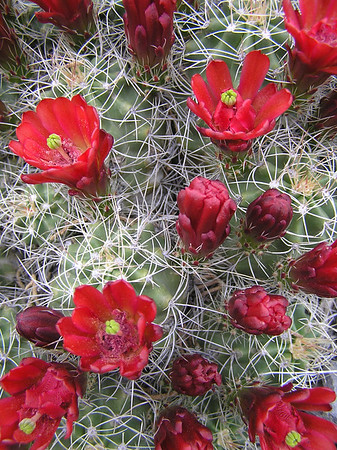prickly pear red flower