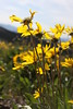 Arrow leaf or Mules Ear