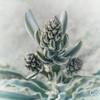 Desert Lily Emerging