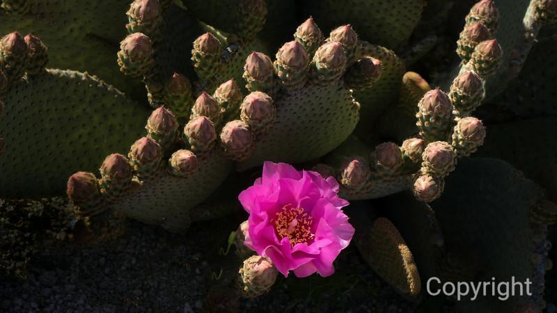 Beavertail Cactus, Joshua Tree