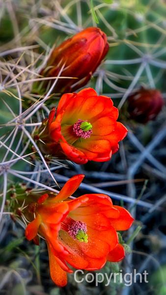 Claret Cup, Mound Cactus, Joshua Tree