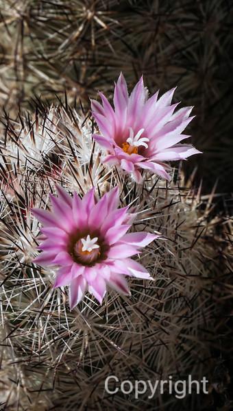 Foxtail Cactus, Joshua Tree