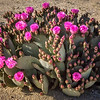 Beavertail Cactus, Joshua Tree