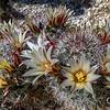 Fishhook Cactus, Anza Borrego