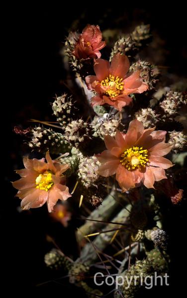 Pencil cactus in Flower