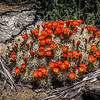 Riot of Claret Cup Cactus Flowers