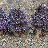 Forest of Desert pholisma or Scaly stemmed sand plants, Joshua Tree