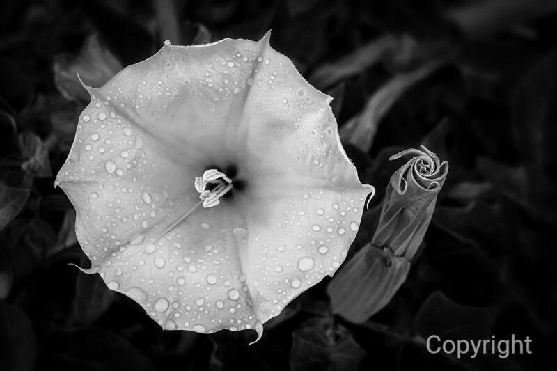 Datura in Rain