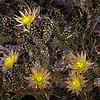 Lush Blooms of Pencil Cholla