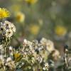 Desert Dandilion & Brown-eyed Primrose