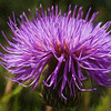 New Mexican Thistle
