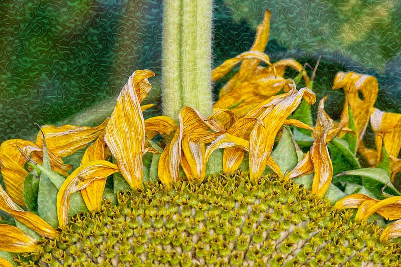 Helianthus Swirlifloris
