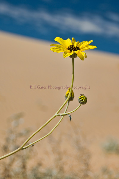 Algodones Sunflower - native to the Algodones Dunes - Imperial County, California