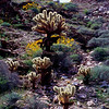 Cactus Garden - Chocolate Mountains - Imperial County, Ca