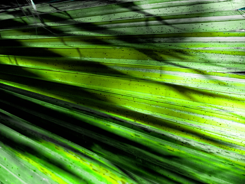 Shadows on a Palm leaf.