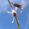Flowers on lower part of Jewel Flower stem