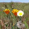 California Poppy, Desert Dandelion and Silver Puff