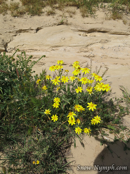 Coreopsis or daisies?