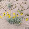 Apr 28, 2016  Desert Marigold?