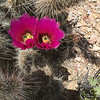 Apr 29, 2016   Hedgehog cactus at the Hart site