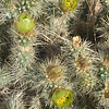 Apr 29, 2016  Cholla Cactus
