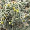 Apr 30, 2016  Cholla Cactus