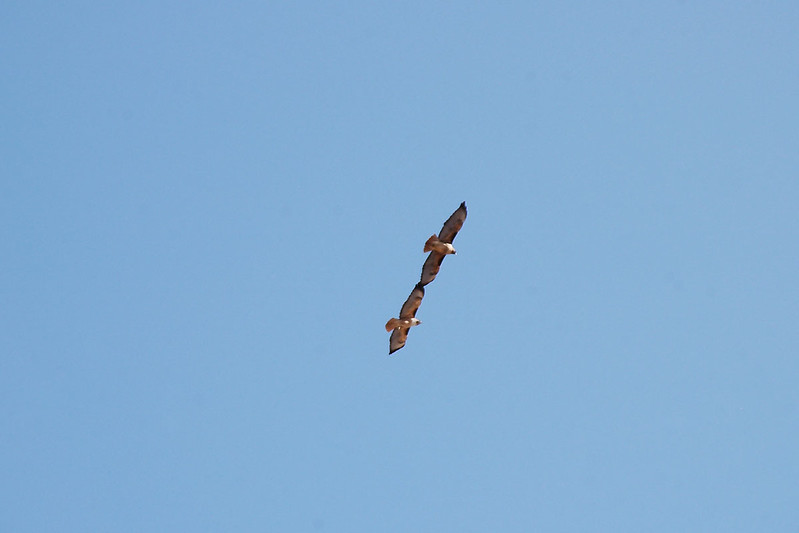 There was three of these hawks flying near the mine.