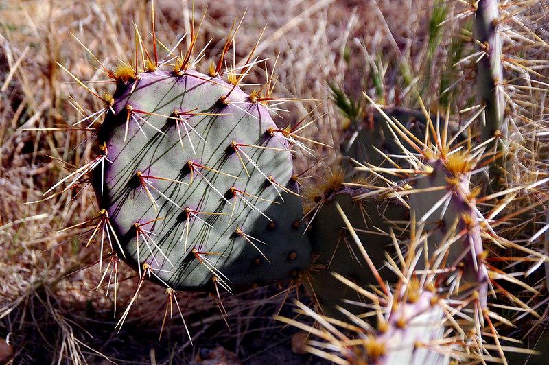 Colorful pricklypear cactus.