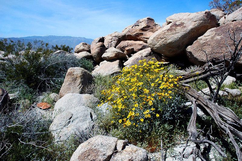 Acton's encelia on the peak.