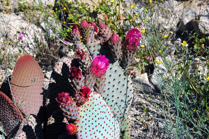 A few more cactus blooms.
