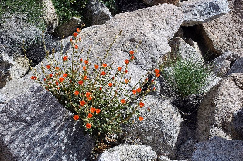 These orange flowers are Globemallows, there was a few of them.