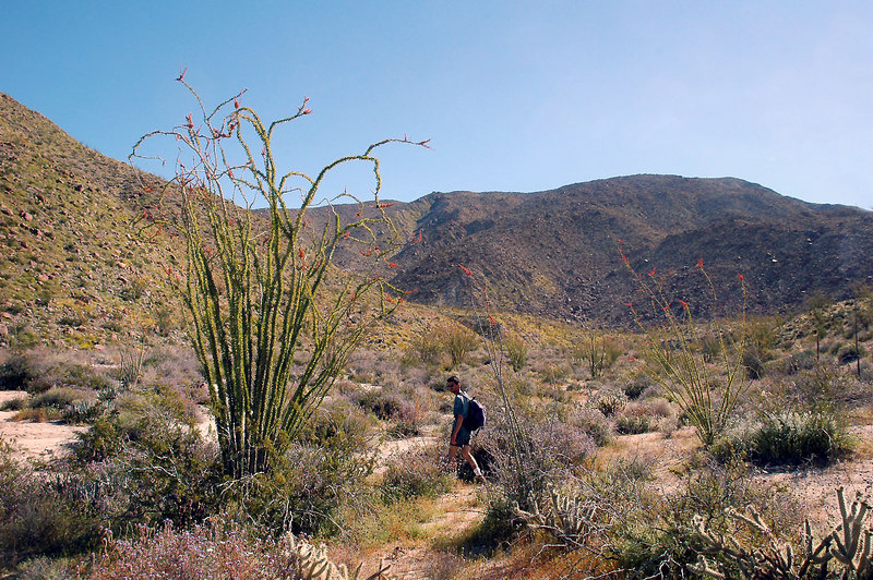 The ocotillos were also blooming, we are still looking around and taking pictures at the start of the hike.