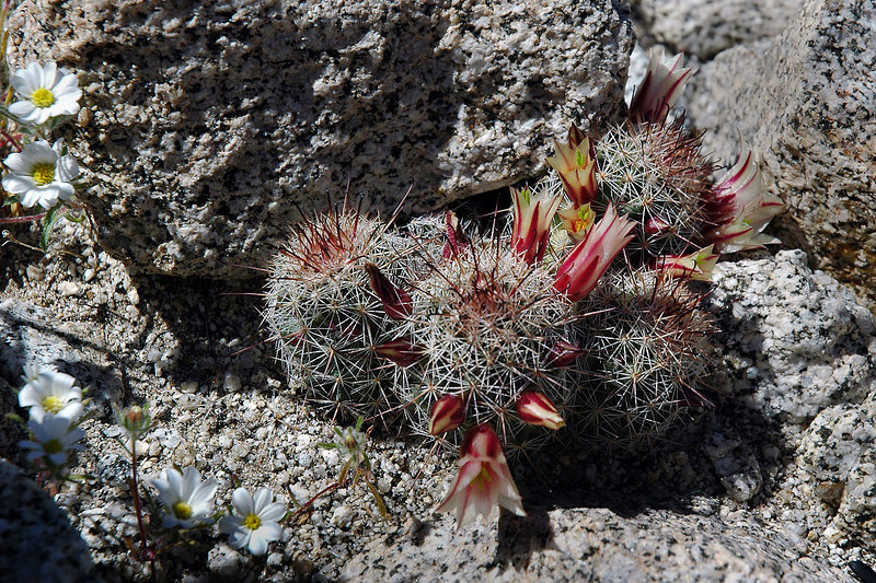 This bunch of cactus is only about an inch tall.