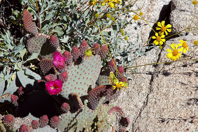 Another beaver tail cactus just starting to bloom.