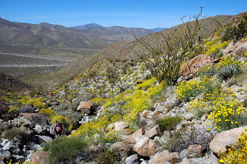 The slopes of this canyon were covered with poppys and desert gold.