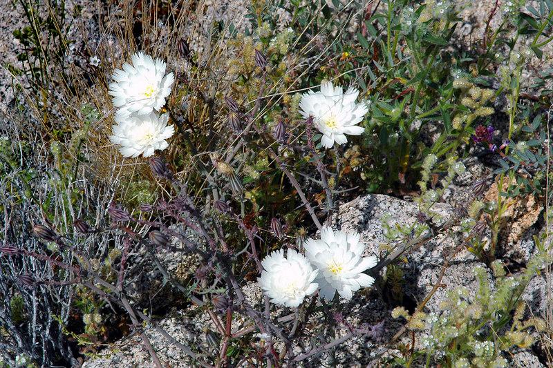 Desert Chicory.