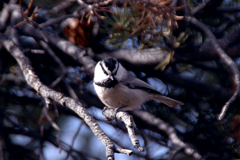 The chickadees were back at the campground.