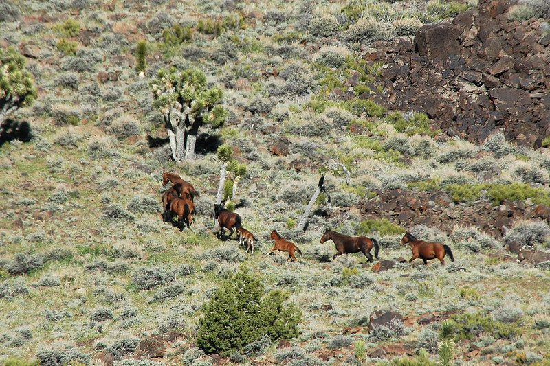 By the time we found them, the herd was moving up the side of the canyon. There was a couple of little ones with them.