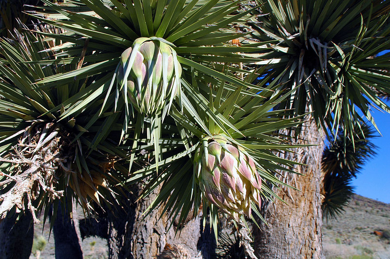 We took a snack break under this joshua tree that was just starting to bloom.