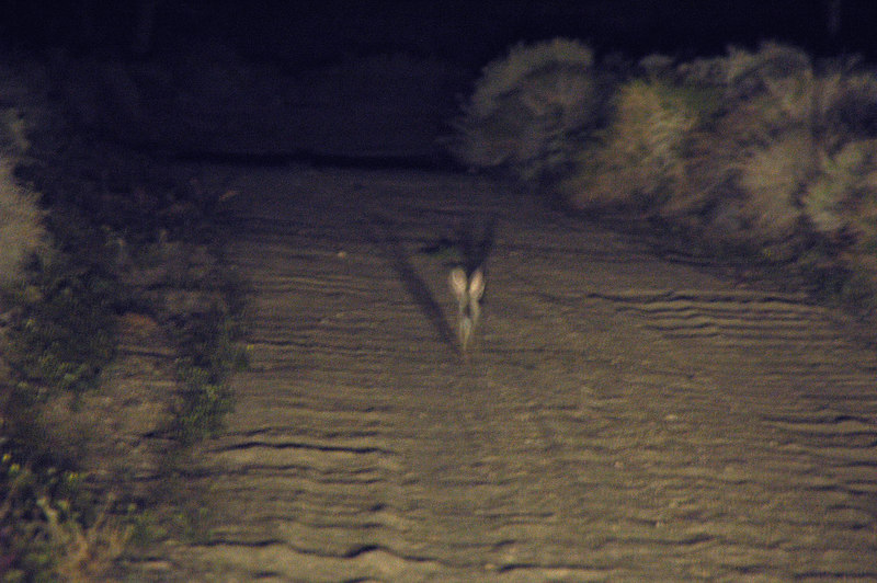 This is one of the many dumb bunnies that would jump in front of the truck. One of them went for about a 1/4 mile before getting off the road. First it was funny, but after a few times they were pissing me off. Just wanted to get to the camp spot.