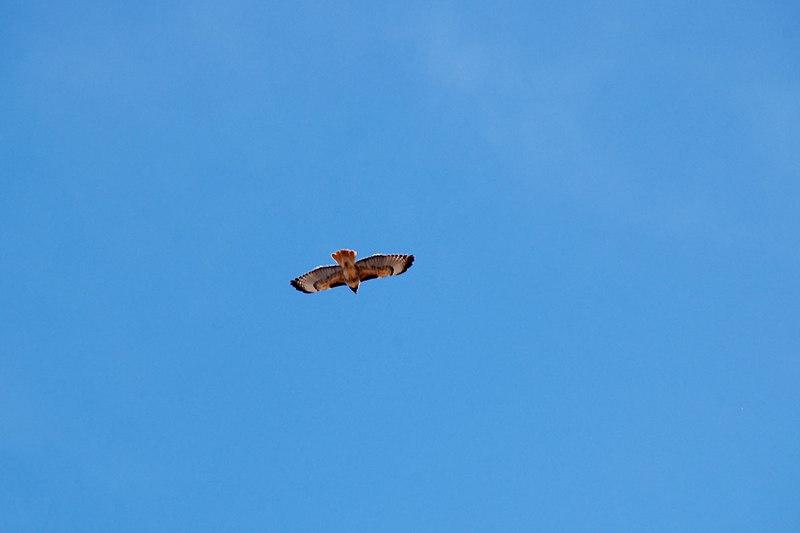 Hawk flying over the peak.