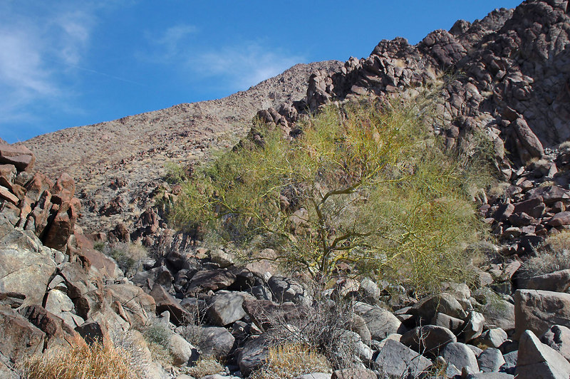 There were a few of these palo verde trees in the canyon.