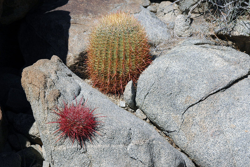 This canyon also had a lot of barrel cactus.