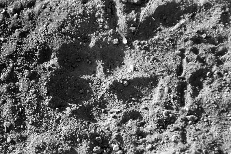Found a lot of tracks around the campground that looked like they were made by a mountain lion.