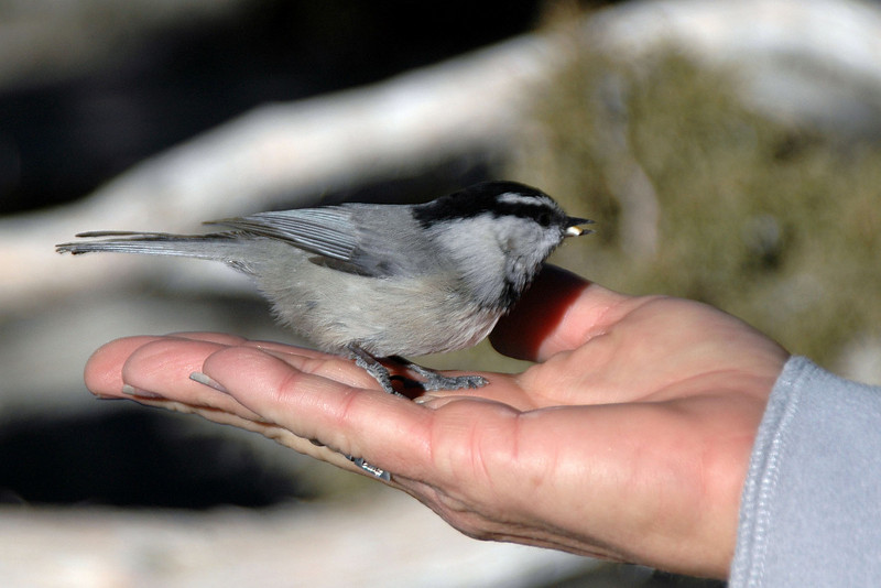 A chickadee on Sooz's hand. There was a lot of these at the campgrond,  first time I seen them in this area.