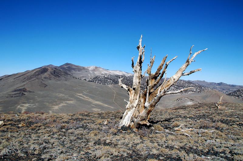 Another tree on the ridge.