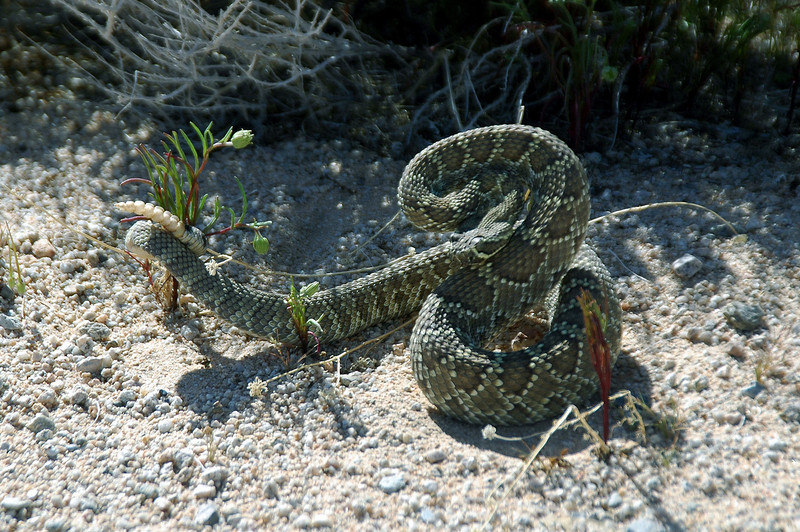 We found this little two foot long rattler along the side of the road. It was the most pissed off snake I ever seen.