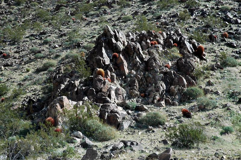 A group of barrel cactus.