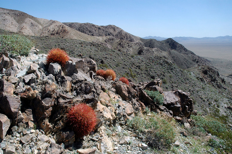 Barrel cactus, these were little ones.