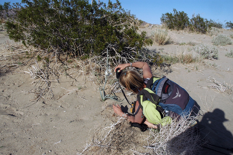 Rachel found a desert lily with flowers on the sand dunes. We saw a lot of them out there, but none of them were blooming.